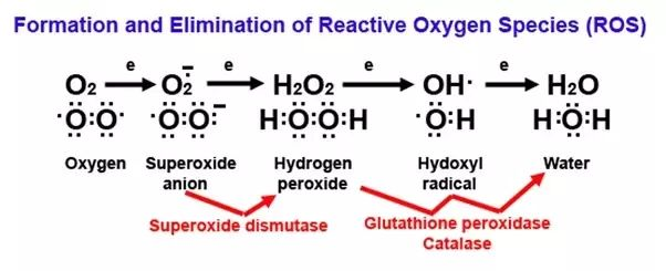 How does DNA get damaged by reactive oxygen species? - Quora