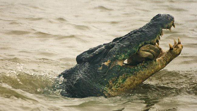 saltwater crocodile | Description: Saltwater crocodile eats shark