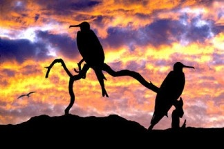 Frigate birds at sunset