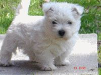 Suttons Westie Puppies for Sale Gallery | Suttons Westie Puppies for Sale