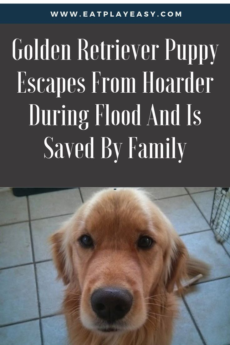 Golden Retriever Puppy Escapes From Hoarder During Flood And Is