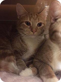 Philadelphia, PA - Domestic Shorthair. Meet Natasha, a kitten for adoption. http://www.adoptapet.com/pet/17018700-philadelphia-pennsylvania-kitten