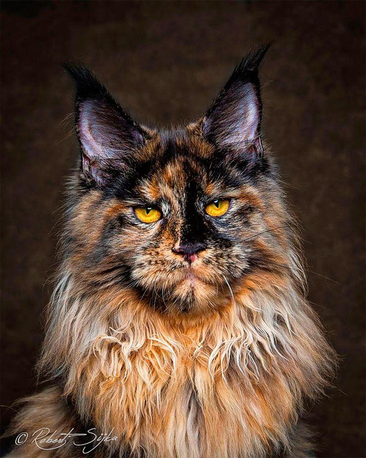 Mythical Beasts – Un photographe capture de superbes portraits de Maine Coon (image)