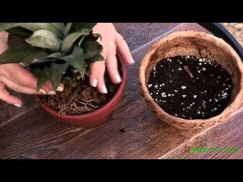 Вопрос знатокам: Как вырастить ананас на подоконнике + Вопрос-Ответ, Горшечные растения плюс отзывы!