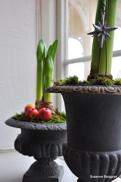 Amaryllis bulbs growing in urns