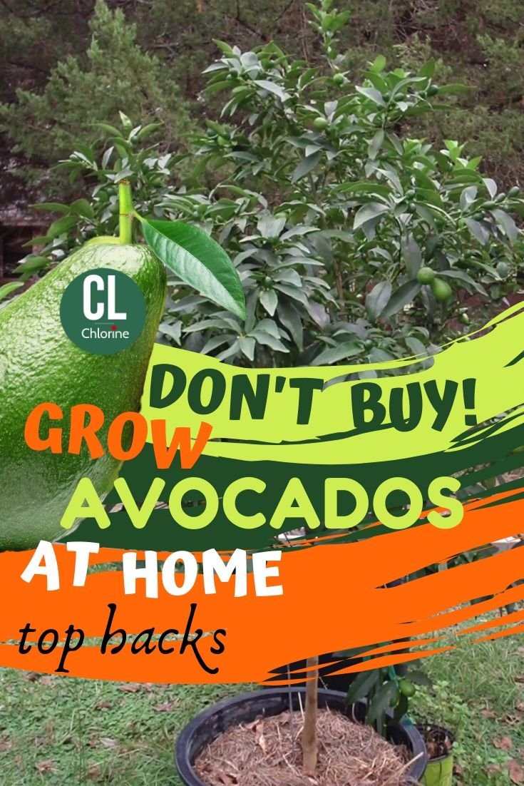 Best Way To Grow Avocado From Seeds At