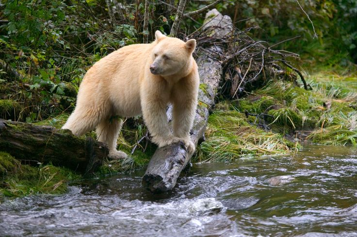 17 Best images about The Spirit Bear on Pinterest ...