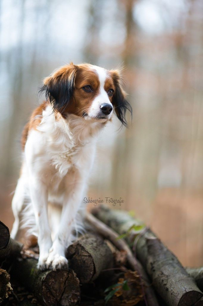 Kooikerhondje Kleo by Jennifer S on 500px