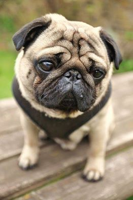Pug hugs for this little guy! Love that face!
