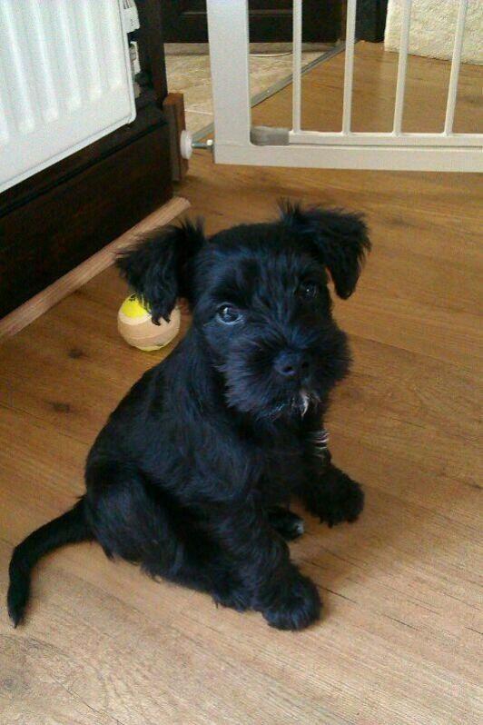 Black miniature schnauzer pup - look at those ears ...