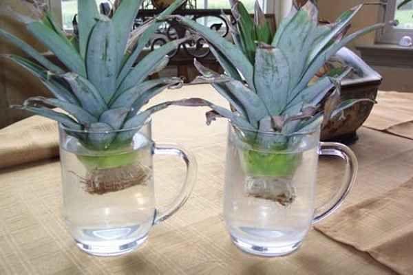 Abacaxi pode ser cultivado a partir de sua coroa.