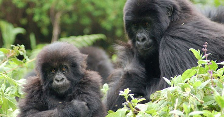 The largest population of mountain gorillas in the world has grown to four times the size, as poaching has become virtually non-existent.