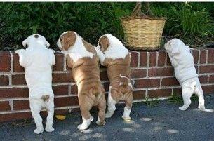 butts!: Heart, Cute Bulldogs, Gifts Cards, English Bulldogs Puppies, Butts, Bullies, Animal, British Bulldogs, Bull Dogs