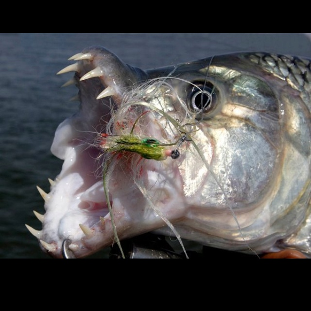 17 best images about tigerfish on pinterest fishing for Tiger fish pictures