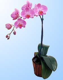 17 mejores tipos de orquideas en pinterest orqu deas for Cuidados orquideas interior