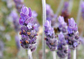 Lavendel beter tegen angsten dan antidepressivum