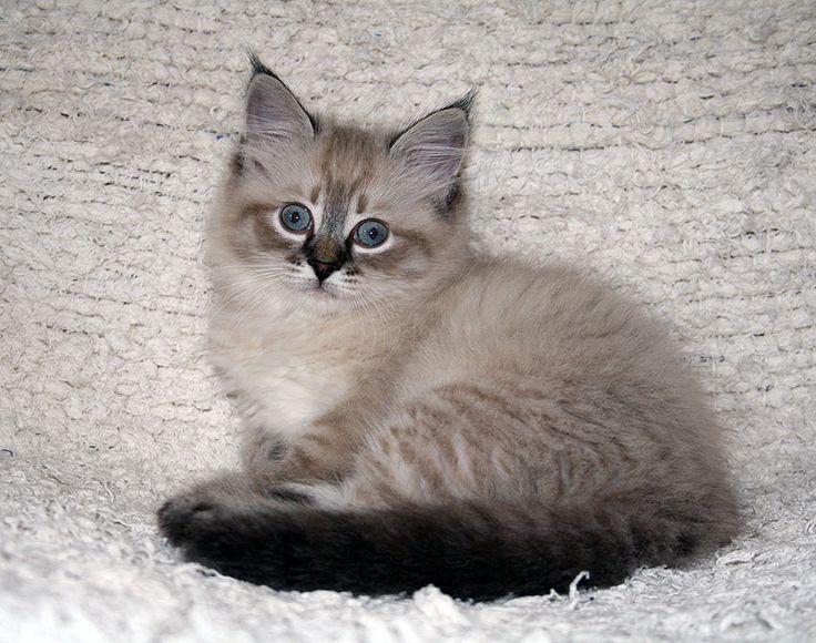 little neva masquerade kitten