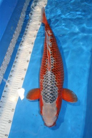 357 besten koi bilder auf pinterest fische wassertiere for Wassertiere teich
