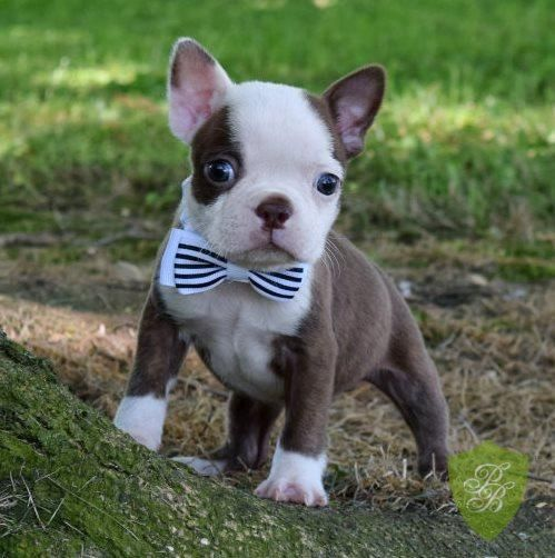 (Boston Terrier) Not a frenchie, but love him!