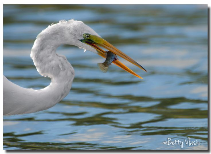 https://flic.kr/p/Uj8M7M | Great Egret