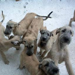 16 best images about Irish Wolfhound Puppies on Pinterest ...  Deerhounds