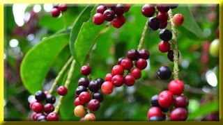 gambar buah wuni, buni