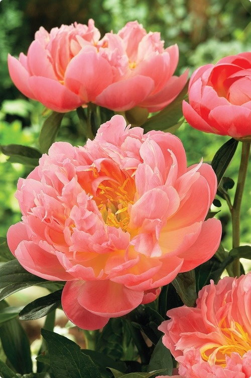 Peony ~ Pink Hawaiian Coral  ~ Can't wait to see them bloom this year!