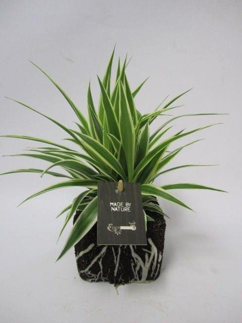 20 best spider plant airplane plant chlorophytum images on pinterest airplane plant. Black Bedroom Furniture Sets. Home Design Ideas