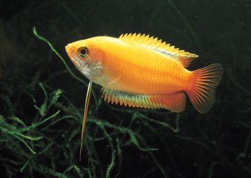 Honey gourami: I havve 2 females, both with very rich orange colors. Very docile