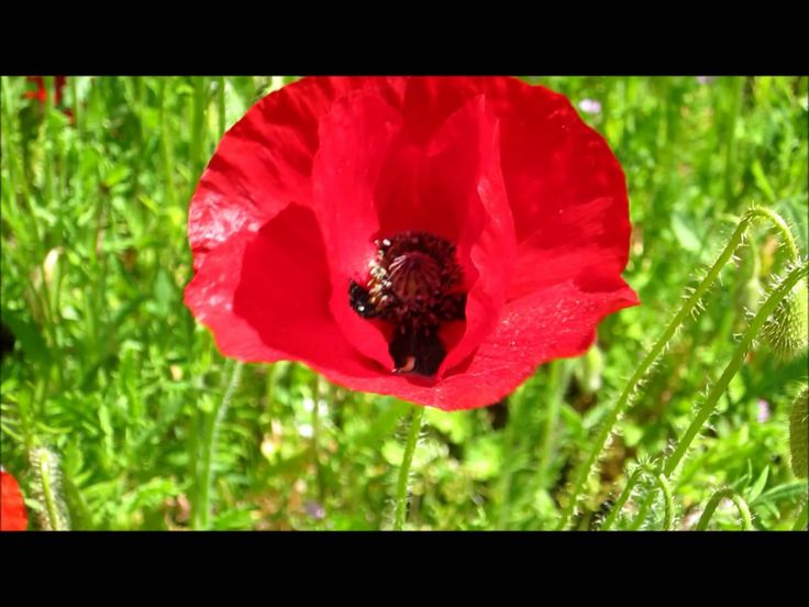 FlowerScapes poppies at the University of Sussex 2013