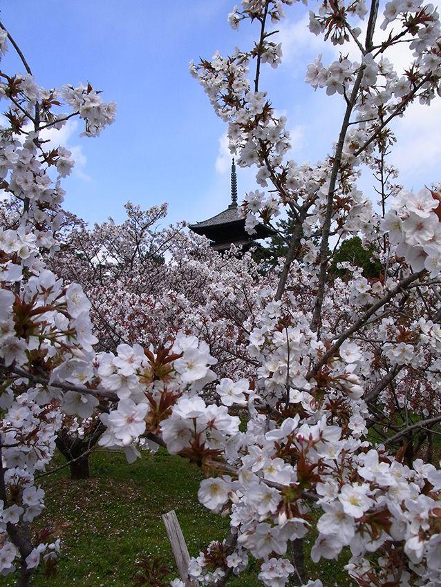 仁和寺の御室桜!