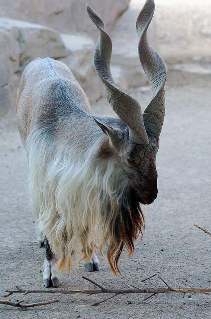 Markhor is a large species of wild goat that is found in northeastern Afghanistan, northern Pakistan, some parts of India, southern Tajikistan and southern Uzbekistan.