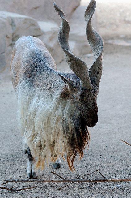 El marjor (markhor) es una especie de mamífero artiodáctilo de la familia Bovidae que habita los bosques montañososdel Himalaya. Marjor en persa significa comedor de serpientes. Es el animal nacional de Pakistán.