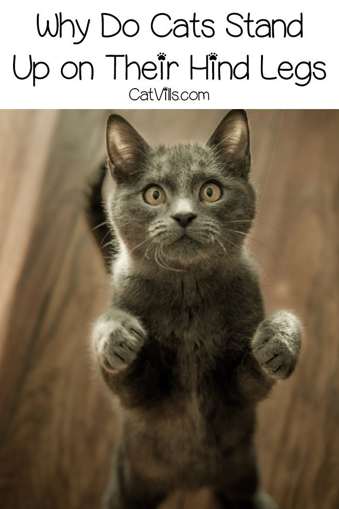 Why Do Cats Stand On Their Hind Legs 6 Reasons Why Catvills Cat Training Cat Behavior Cat Stands