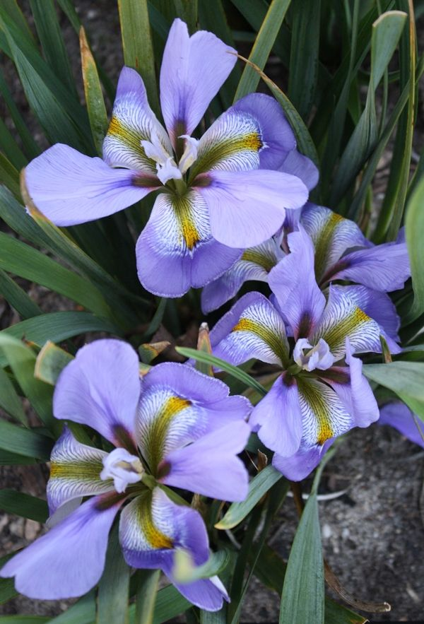 Frances Winter Blooming Iris for sale, buy Iris unguicularis 'Frances'