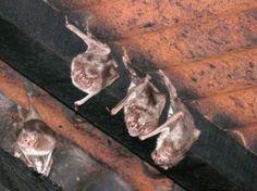 os hablamos de los mejores remedios caseros para los murciélagos