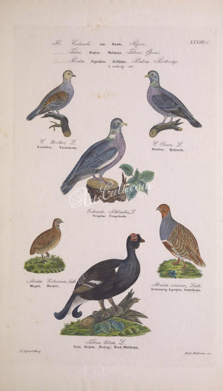 European Turtle-Dove, Stock Dove, Common Wood Pigeon, Black Grouse, Grey Partridge      ...