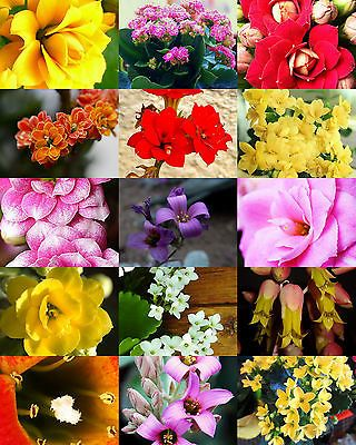 FLOWERING KALANCHOE MIX Rare Plant Exotic Cactus Flower Succulents Seed 30  Seeds