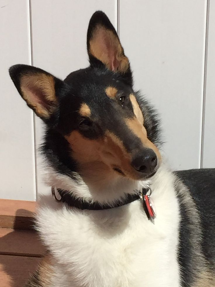 Tri-color smooth collie looks exactly like Sonny