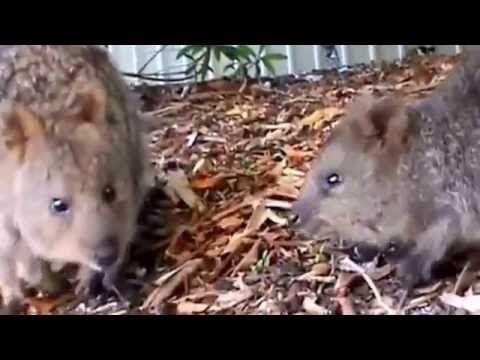 Коукки – симпатичные австралийские #грызуны! Cocchi - Australian  cute  ...