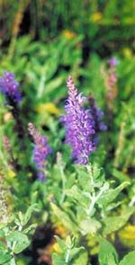 Five Drought-Proof Plants for Texas Gardens  This is Meadow Sage