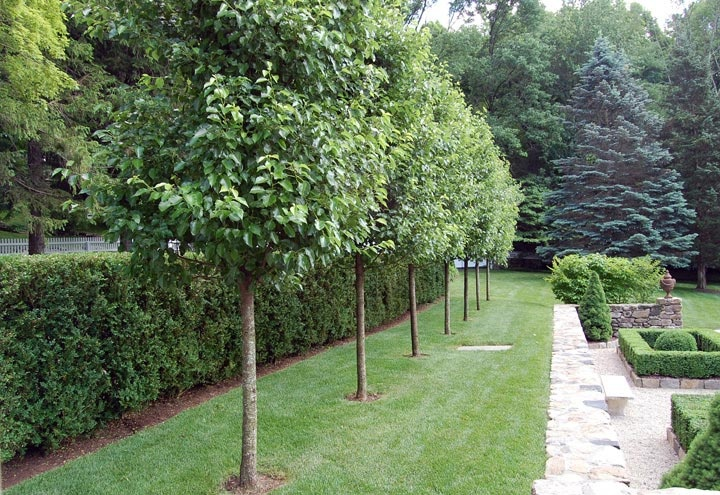 Landscaping With Pear Trees : Best ideas about bamboo hedge on