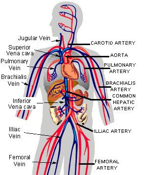 Circulatory System Diagram Worksheet Circulatory System