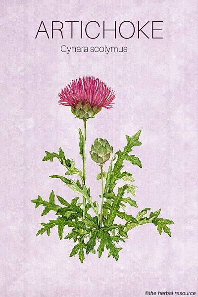 The Herb Artichoke (Cynara scolymus)