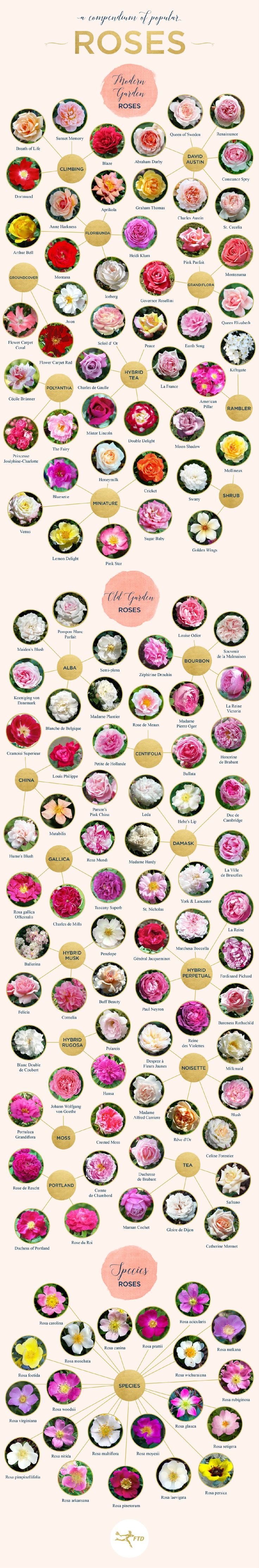 Types of Roses: A Visual Compendium - Fresh by FTD