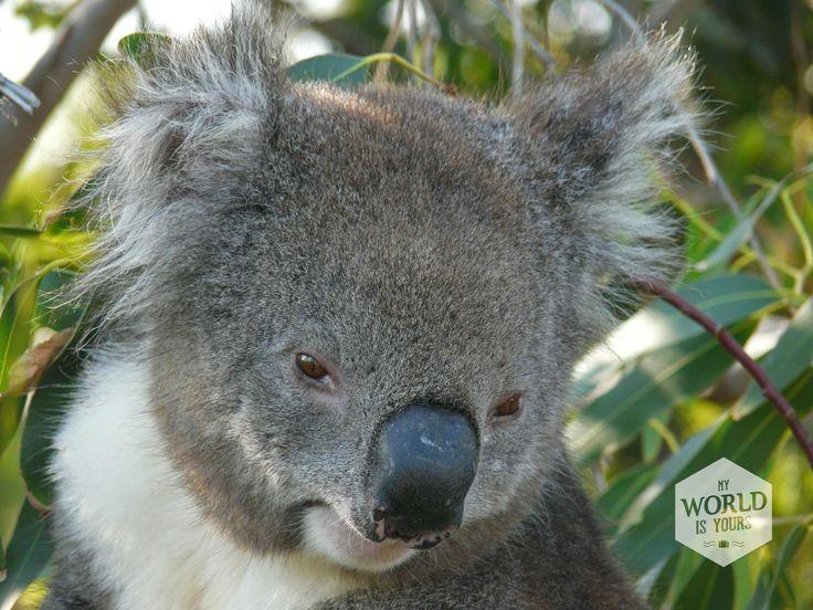 Zachte grijze velletjes, grote bruine ogen die meestal dicht zijn omdat ze slapen, en witte pluisoortjes. Als ze niet van die scherpe zwarte nagels hadden, had ik alle elf koala's die we zien achterin onze campervan geparkeerd. #koala Waar je in Australië goed koala's kunt spotten lees je op http://www.myworldisyours.nl/places/great-ocean-road #Australia