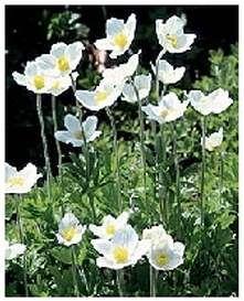 Mositure Loving Perennials - Snowdrop Anemone