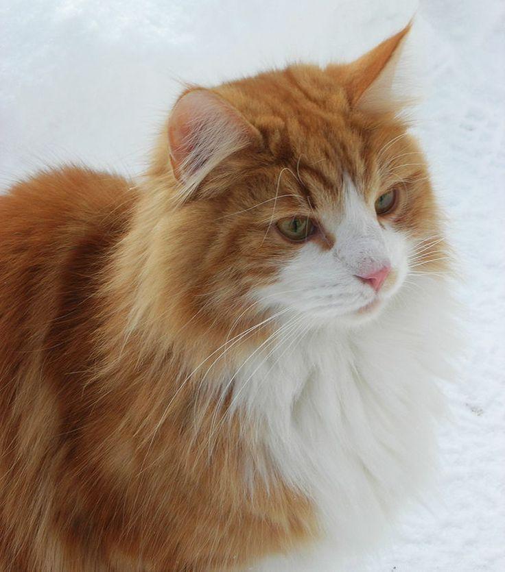 Los gatos mas bonitos del mundo - 14 razas de gatos bonitos - PetDarling