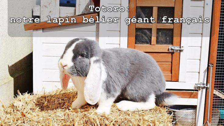 Totoro: notre lapin bélier géant français