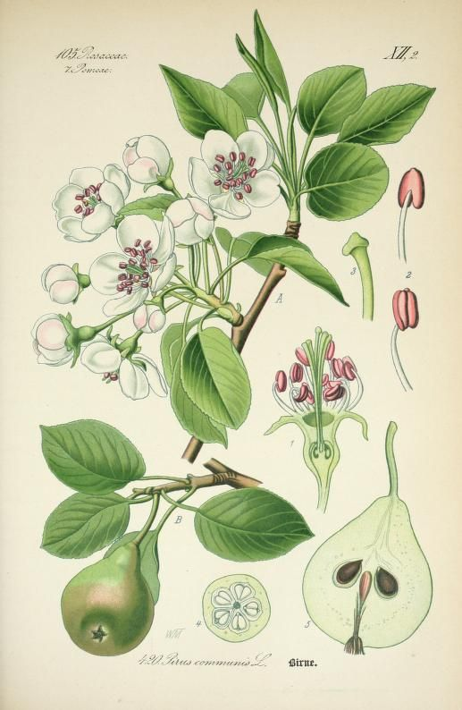 Bd.3 (1888) - Prof. Dr. Thomé's Flora von Deutschland, Österreich und der Schweiz, in Wort und Bild, für Schule und Haus ; mit ... Tafeln ... von Walter Müller. - Biodiversity Heritage Library